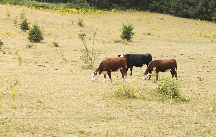 Three cows eating dry grass