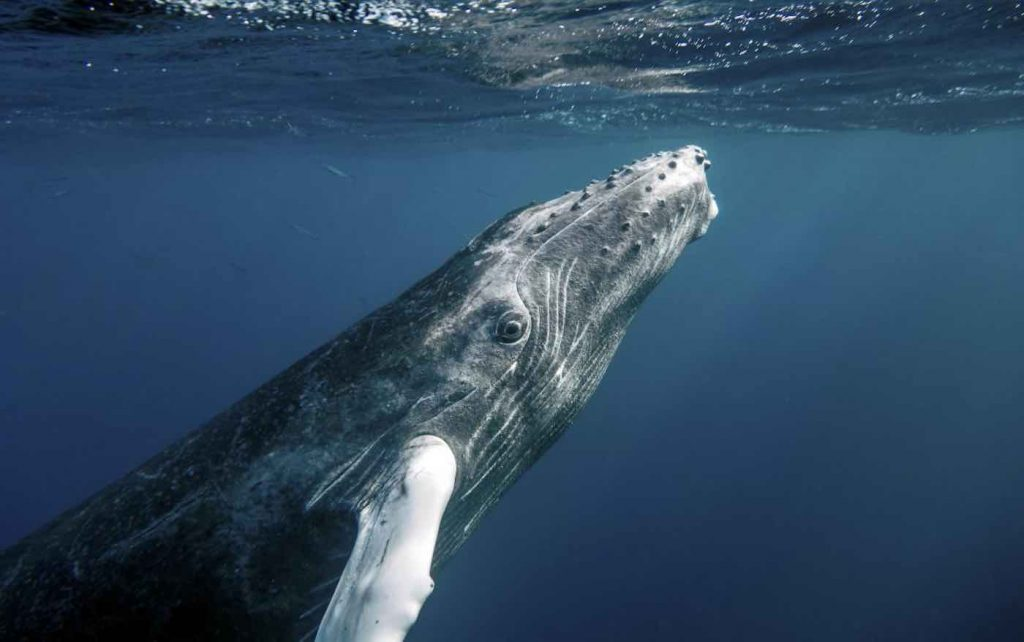 Humpback whale approaching the surface