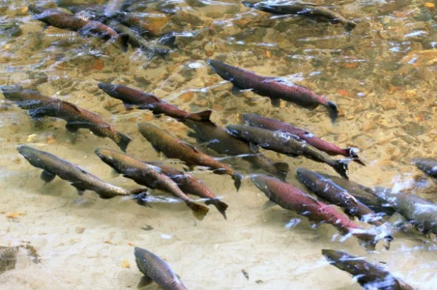 King salmon swimming in river