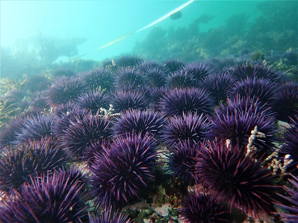 spiky, purple sea urchins at the bottom of the ocean